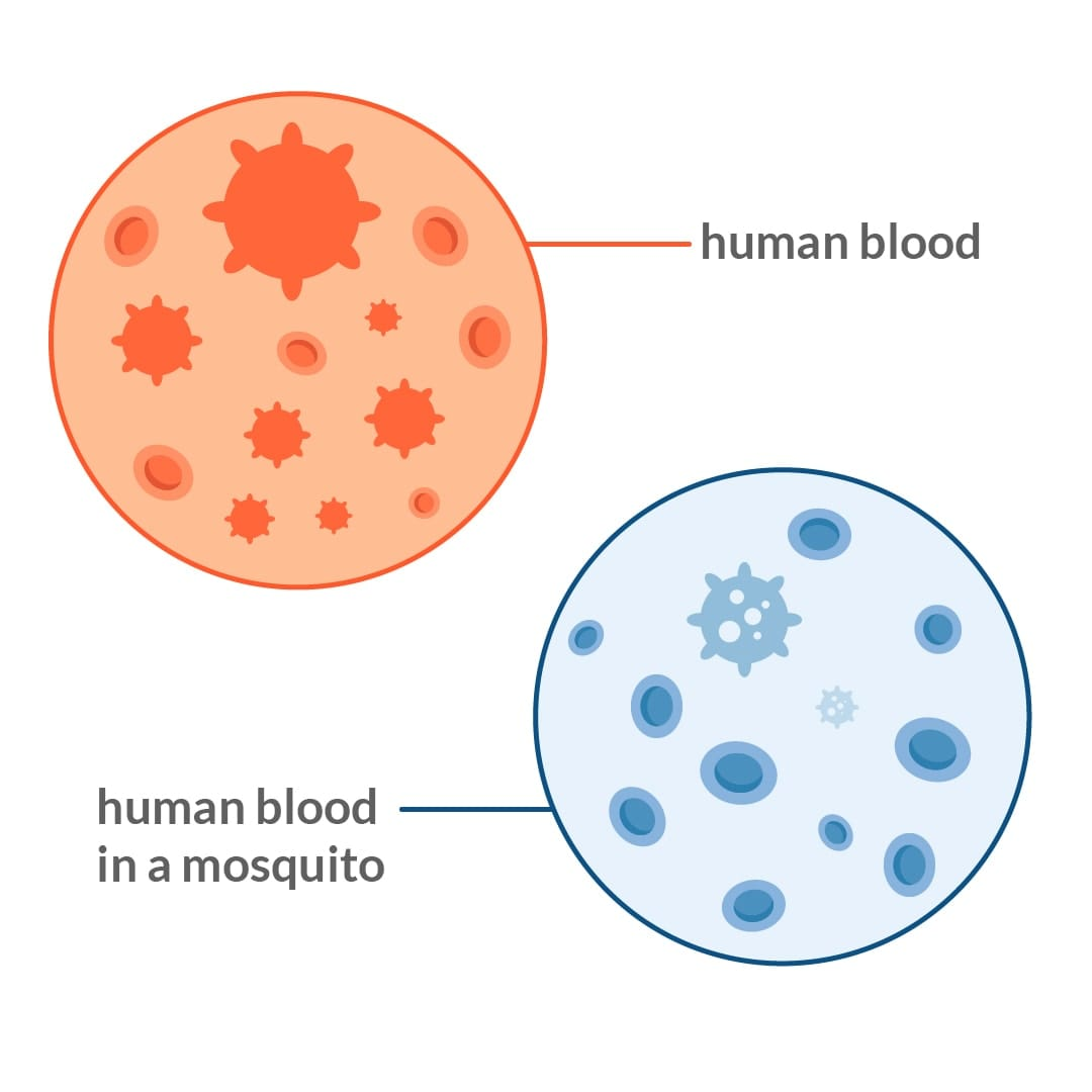 Side by side view of blood versus blood inside of a mosquito, illustrating how HIV cannot survive inside of mosquitos.